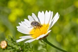 Flower beetle. Tropinota squalida on a flower.