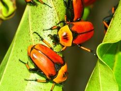 Flower Beetles on Green Island of Queensland, Australia