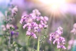 Flower bells, purple flower bell, purple bells lit by sunlight