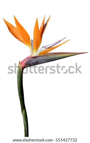 flower bird of paradise...