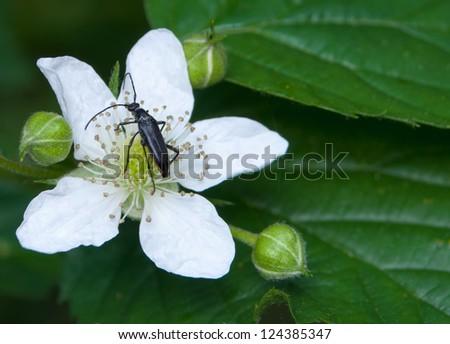 Flower blackberry - stock photo