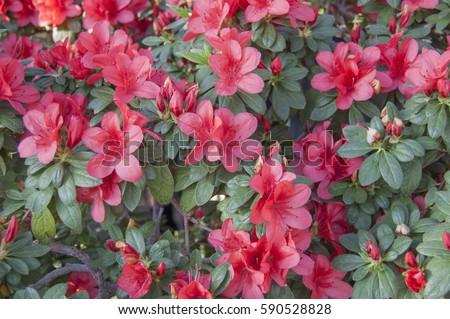 Flower bloom. Spring. Rhododendron indicum in garden. Azalea bush blossom