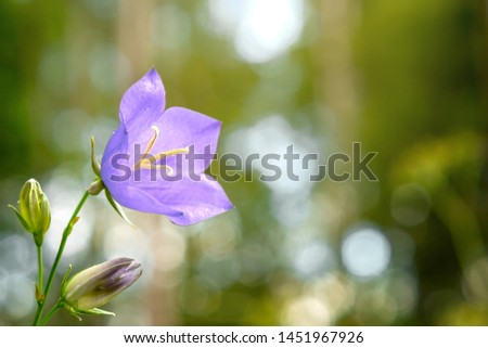 Flower Blue campanula on the edge of the forest. Beautiful wild flower closeup with copy space
