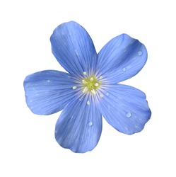 Flower blue flax on a white background.