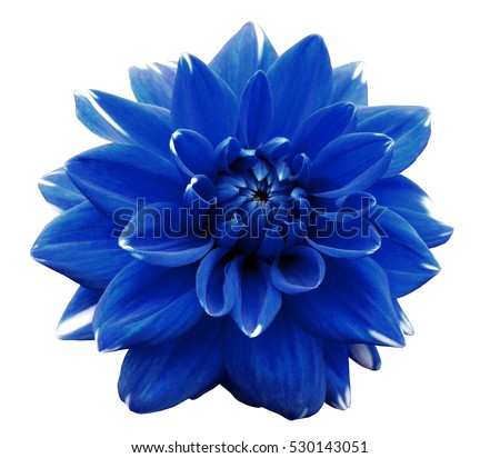 Flower blue  motley dahlia. Isolated on a white background. Close-up. without shadows. For design.