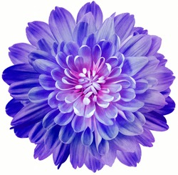 flower blue-purple chrysanthemum . Flower isolated on a white background.  Close-up. Nature.