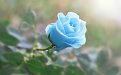 Flower blue rose flowering in roses garden.