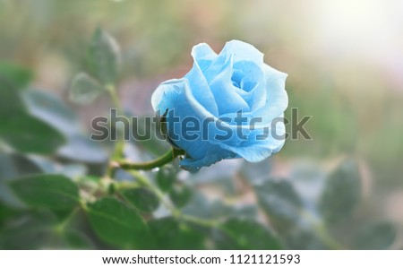 Stock Photo Flower blue rose flowering in roses garden.
