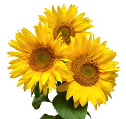 Flower bouquet with three sunflowers isolated on white background. The seeds and oil. Floral arrangement. Picturesque and conceptual scene.