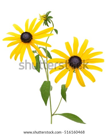 Flower branch: Yellow Black eyed susan flowers