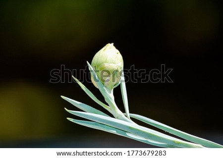 flower bud with a bokeh background