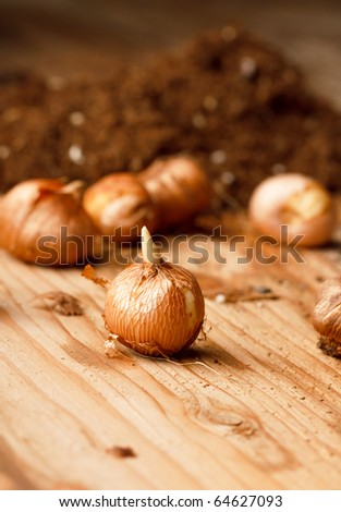 flower bulbs on the table