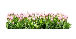 flower bush tree isolated tropical plant with clipping path