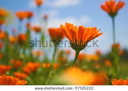 Flower - Calendula