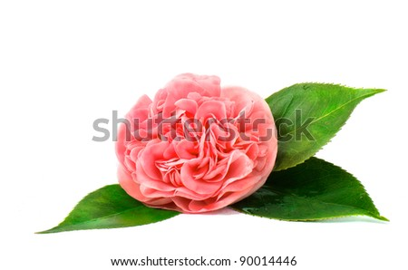 Flower Camellia and Leaves on White Background Isolated