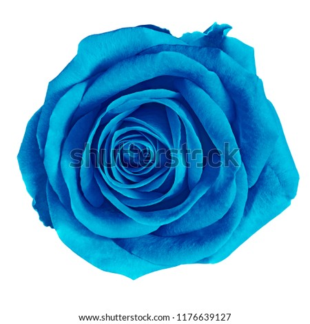 flower cerulean (blue) rose isolated on white background. Close-up. Nature. #1176639127