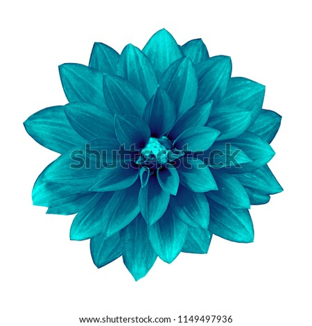 flower cerulean cyan dahlia isolated on white background. Close-up. Element of design. #1149497936