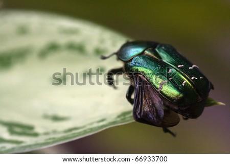 Flower chafer on a leaf