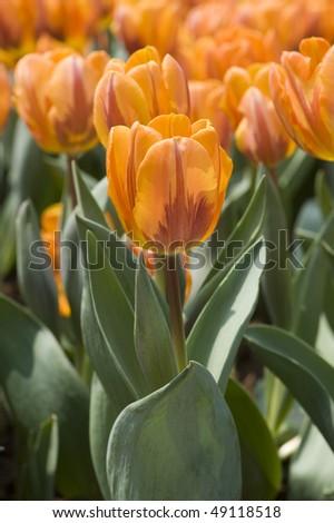 stock-photo-flower-close-up-of-orange-tulips-49118518.jpg