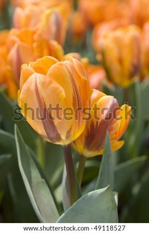 stock-photo-flower-close-up-of-orange-tulips-49118527.jpg