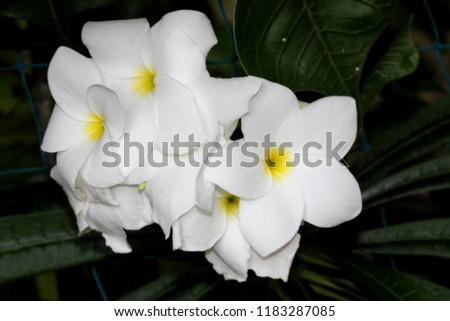 Free photos white flowers with yellow center avopix flower cluster of plumeria pudica fiddle leaf plumeria golden arrow flowers white with mightylinksfo