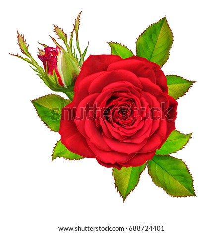 Flower composition. A bud of a beautiful red rose and green leaves. Isolated on white background.