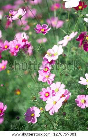 Flower Cosmos cosmos Apollo Pink  .lots of Flower Cosmos cosmos Apollo Pink.
