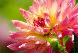 flower dahlia, beautiful summer scene, macro, flowerbed in garden, rose flower, tender pink petals