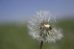 Flower, dandelion, fizzle