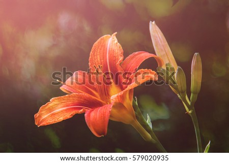 Flower daylily. Latin name Hemerocállis.  Close up, macro. Spring solar background, photo wallpaper. Soft focus, toning