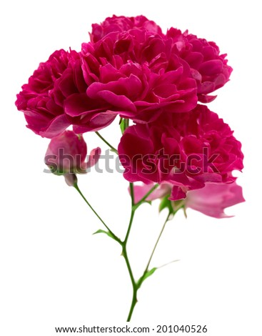 flower decorative garden roses isolated on white background shots in macro lens close-up
