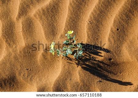 flower  / desert of Namib - Namibia