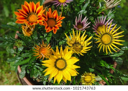 Flower Detail of Gazania (Gazania rigens). #1021743763