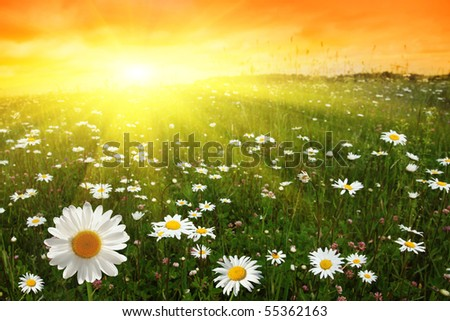 Flower field and sunset. - stock photo