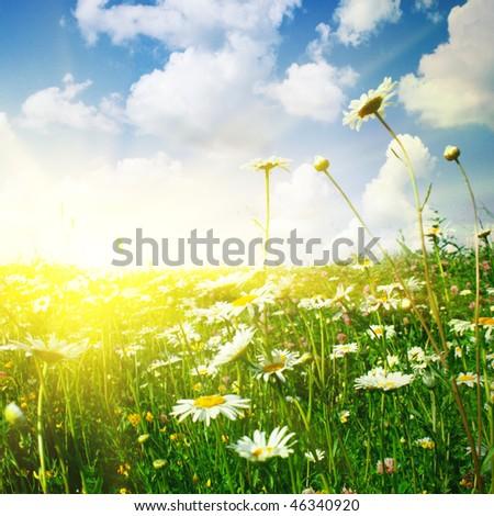 Flower field ,blue sky and sun. - stock photo
