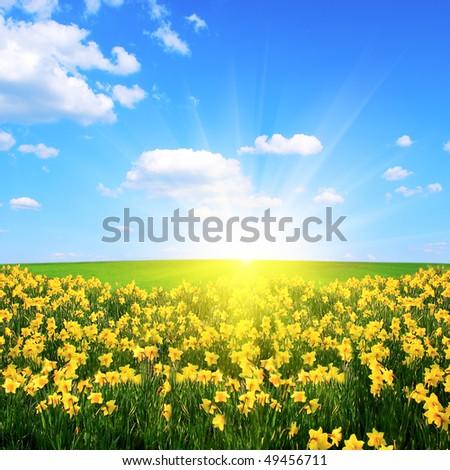 Flower field,blue sky and sun - stock photo