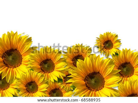Flower field - isolated sunflowers against white background - including clipping path
