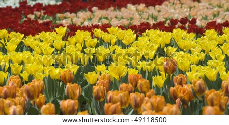 stock-photo-flower-field-of-colorful-tulips-in-hong-kong-flower-expo-49118500.jpg