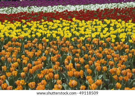 stock-photo-flower-field-of-colorful-tulips-in-hong-kong-flower-expo-49118509.jpg