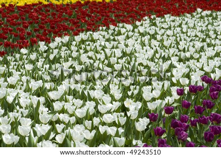 stock-photo-flower-field-of-colorful-tulips-in-hong-kong-flower-expo-49243510.jpg