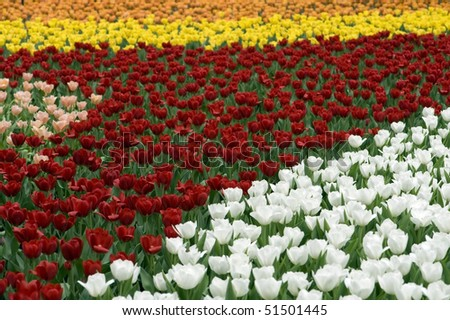 stock-photo-flower-field-of-colorful-tulips-in-hong-kong-flower-expo-51501445.jpg
