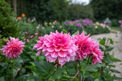 Flower field with pink Dahlias name Otto's Thrill