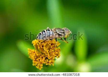 Flower fly collecting nectar on Bidens pilosa flower
