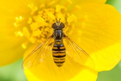 Flower fly (hoverfly) on a yellow flower