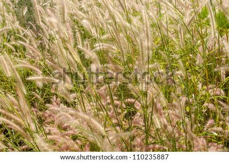 Flower foxtail weed in the green nature