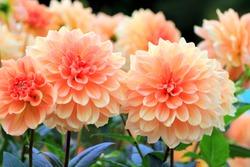 Flower garden of dahlia of autumn