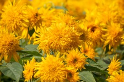 flower garden of double flower sunflower taken outdoors