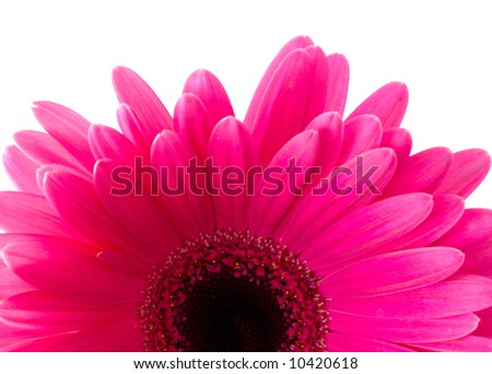 Flower Gerbera. Isolation on white