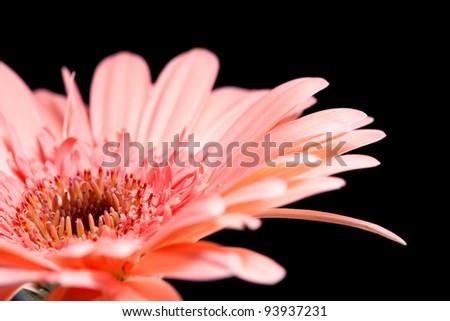 Flower gerbera, macro shot, natural background for card
