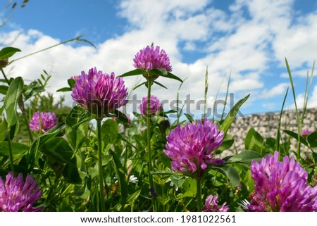 Flower group purple clover rozeta, trifolium pratense. Background blurred voluntarily. Zdjęcia stock ©